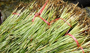 Fresh vetiver plants with roots, after harvesting
