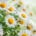 Essential oil profile of Roman Chamomile