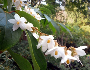 Blossoming flowers of Styrax benzoin from Sumatra