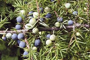 A mixture of ripe and unripe juniper berries