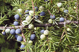 Ripe and intermediate juniper berries