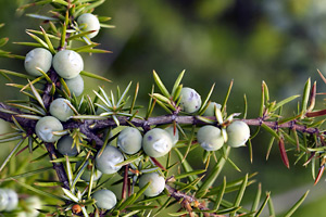 Intermediate stage juniper berries