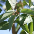 Lemon eucalyptus essential oil profile