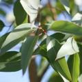 Lemon eucalyptus essential oil profile