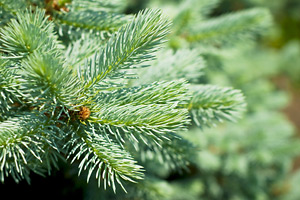 Silver fir produces a great spring-like aroma