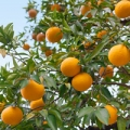 Bitter orange essential oil is derived from the peel of the fruits
