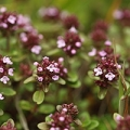 Discover the secrets of thyme essential oil