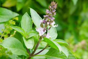 Basil Essential Oil - Ocimum basilicum ct. linalool