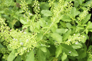 Holy basil, also known as Tulsi.