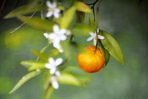 Ripe mandarin fruit and blossoming flowers