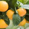 Mandarin essential oil is derived from the peel of the fruits