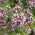 Blossoming flowers of Sweet Marjoram (Origanum majorana)