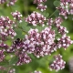 Sweet Marjoram Essential Oil