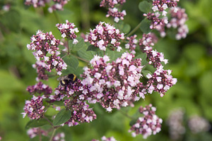 Blossoming flowers of Sweet Marjoram (Origanum majorana)