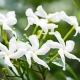 An in-depth look at Jasmine Sambac absolute in aromatherapy