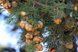 Cypress seed cones