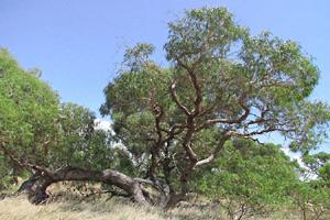 Mature Eucalyptus radiata tree