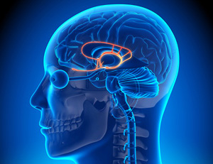 The Limbic System controls our emotional responses