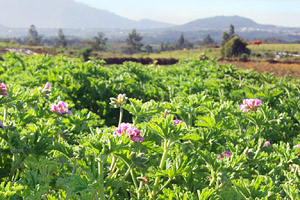 Geranium Bourbon crop growing in Reunion