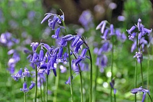 British bluebells (Primula vulgaris)