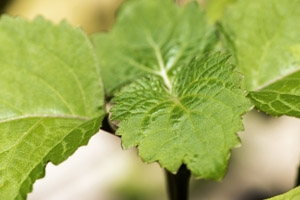 The leaves are the source of patchouli essential oil