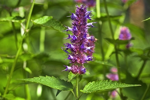 Blossoming flower of Peppermint (Mentha piperita)