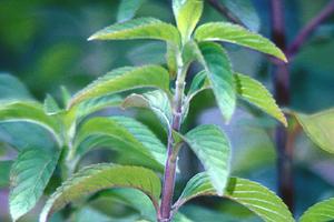 Mentha piperita leaves