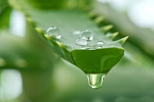 Aloe Vera – The Amazing Healing Herb