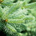 Fir silver essential oil is obtained from the leaves