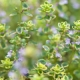 Thyme Sweet Essential Oil