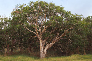 Niaouli tree, also known as the broad-leaved paperbark tree