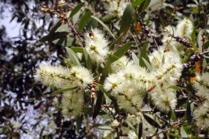 Flowers of niaouli (Melaleuca quinquenervia var. cineole)