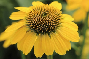 Remedies such as Echinacea have been used for thousands of years