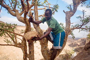 Worker tapping frankincense resin