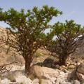 Frankincense essential oil is obtained from Boswellia carterii