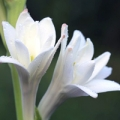 Blossoming tuberose flowers