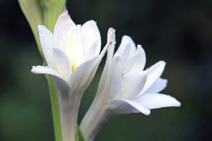 Blossoming tuberose flowers