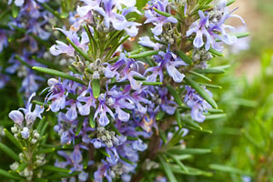 Rosemary essential oil helps improve memory