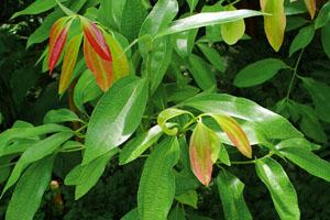 Cinnamon leaves (Cinnamomum verum)