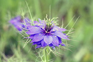 Flowers of Nigella sativa in full bloom