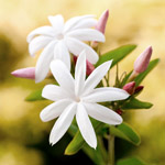 Jasmine absolute is produced from Jasminum officinale L. forma grandiflorum