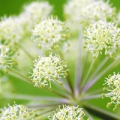 Discover the many benefits of angelica root essential oil
