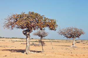 Myrrh trees can seemingly grow anywhere!