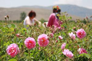 Harvesting rose blossoms