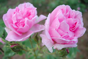 Rose Otto – Why It's The Finest Essential Oil For Skin Care