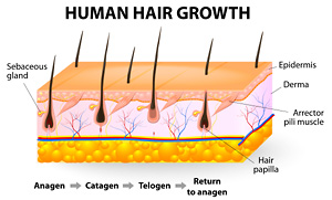 Diagram of hair follicles