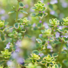 Sweet thyme essential oil profile