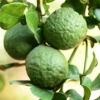 Bergamot essential oil is derived from the fruit